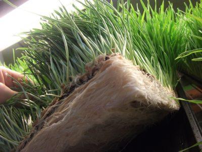 Wisconsin's Best GRASS! SuperCharge WheatGrass